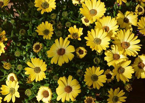 Flower, Flowers Yellow Osteospernum, Nature, Plant