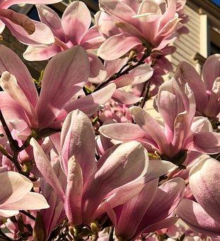Flower, Magnolia, Plant, Nature, Petal, Flowers, Floral