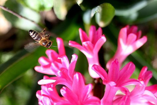 Hyacinth, Bee, Flight, Pollination, Pink, Flower