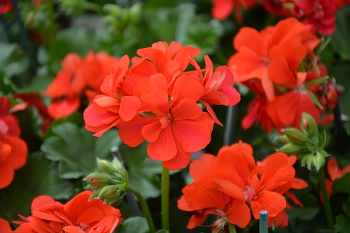 Flower, Red Geranium, Garden, Plant, Nature, Leaf