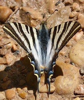 Butterfly Zebra, Butterfly Cebrada, Scarce Swallowtail