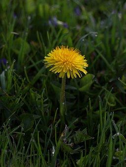 Dandelion, Yellow, Dew, Grass, Morning, Green, Supplies