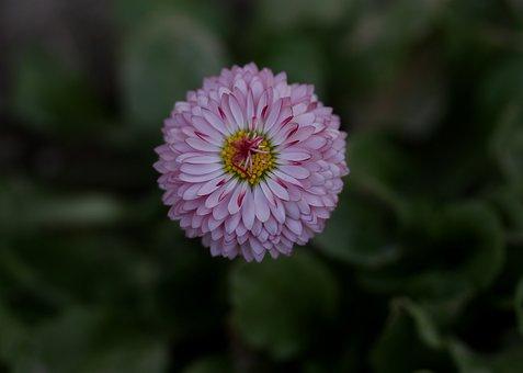 Bellis Perenis, Flower, Supplies, Spring, Pink, Petals