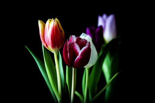 Tulip, Nature, Flower, Plant, Leaf, Bright, Summer