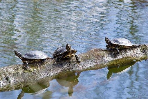 Turtles, Waters, Puddle, Nature, Lake, Reptile, Animal