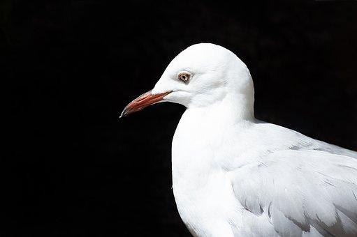 Hartlaub's Gull, Bird, Avian, Seagull, Gull, Animal