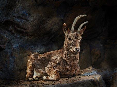 Mammal, Nature, Animal World, Animal, Wild, Capricorn