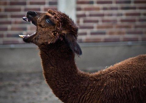 Mammal, Animal, Animal World, Lama, Animal Photo