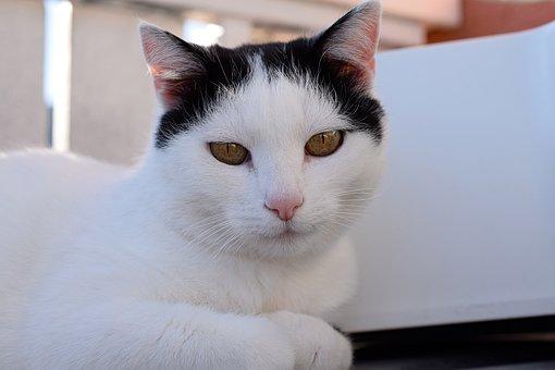 Domestic Cat, Cat's Eyes, Pet, Mieze, Kitten, Cat