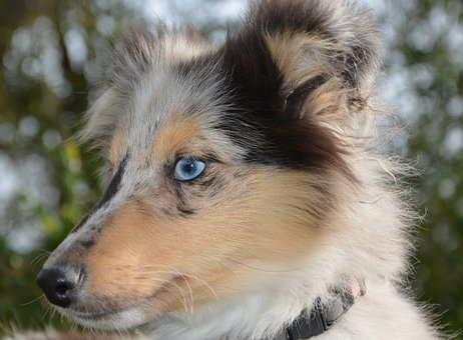 Dog, Bitch Nobility Blue, Shetland Sheepdog
