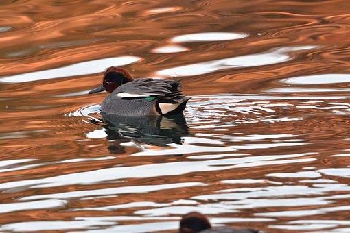 Waters, Reflection, Pond, Bird, Duck, Teal, Common Loop