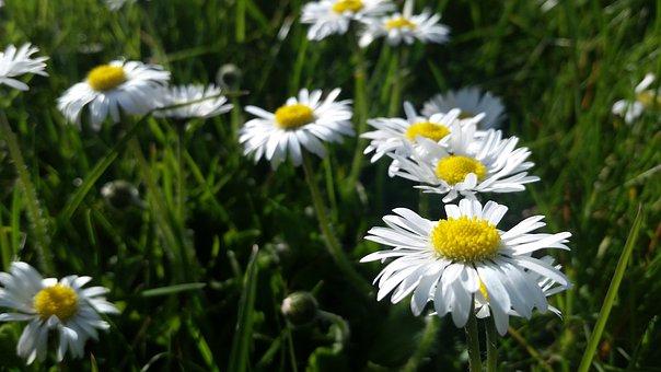 Nature, Flower, Flora, Summer, Hayfield, Chamomile