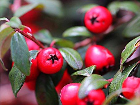 Leaf, Nature, Berry, Food, Closeup, Branch, Season