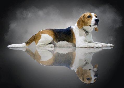 Fuck Young, Beagle, Dog