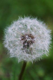 Dandelion, Summer, Nature, Plant, Furry, Fragile