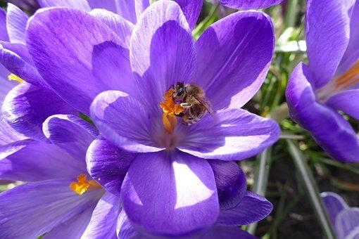 Crocus, Bee, Spring, Flower, Nature, Plant, Garden