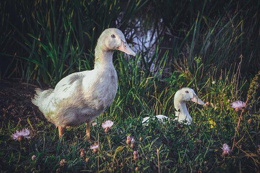 Nature, Bird, Grass, Living Nature, Goose, Duck, Beak