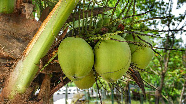 Large, Coconut, Cooking, Growing, Hanging, Bunch, Leaf