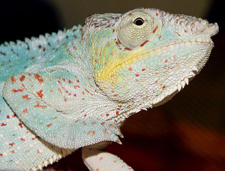 Panther Chameleon, Chameleon, Close, Head, Spur, Scale
