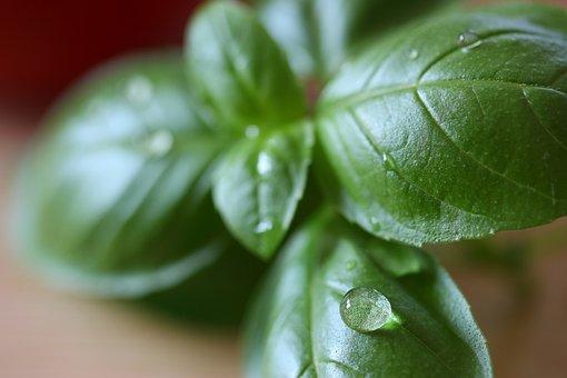 Basil, Herbs, Italian, Leaf, Plant, Nature, Fresh