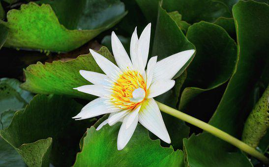 Waterlily, Lily, White, Lotus, Pond, Flora, Nature