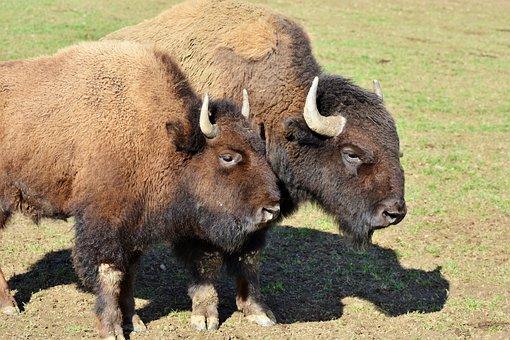 Bison, Buffalo, Horns, American Bison, Wild, Livestock