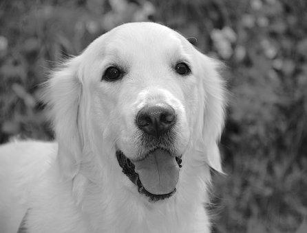 Dog, Dog Golden Retriever, Mollie, Photo Black White