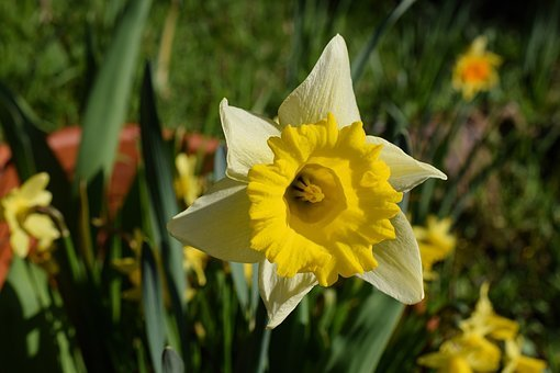 Narcissus, Narcissus Pseudonarcissus, Flower Head