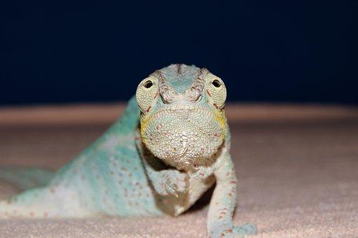 Panther Chameleon, Chameleon, Close Up, Head, Spur