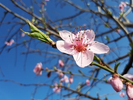 Branch, Tree, Flower, Cherry, Nature, Season, Plant