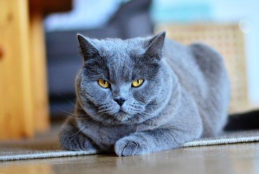 Chartreux, Cat, Animal, Pet, Portrait, Domestic Cat