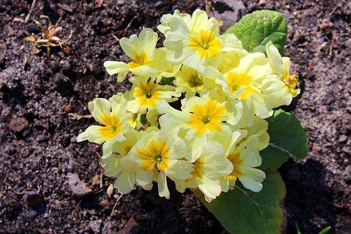 Prymulka, Primula, Spring Flowers, Yellow, Nature