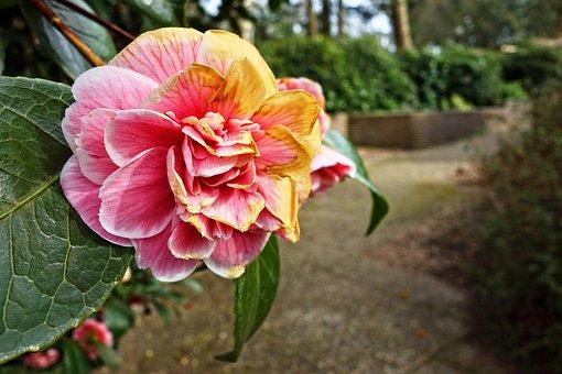 Rhododendron, Shrub, Plant, Flower, Petal, Pink