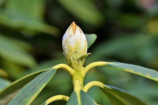 Rhododendron, Rhododedron Buds, Pink Rhododendron, Bud