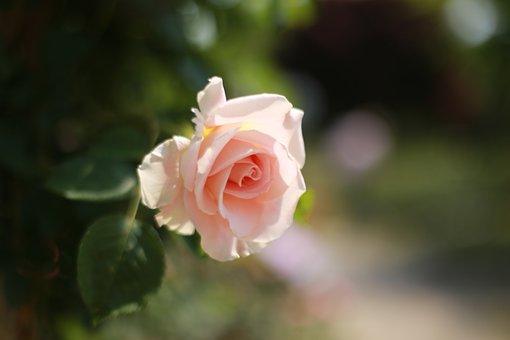 Flowers, Plants, Nature, Rose, Petal