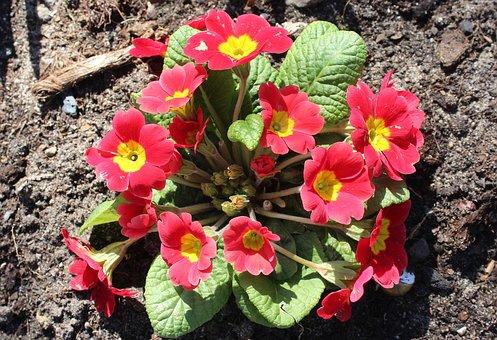 Prymulka, Primula, Spring Flowers, Flower, Nature