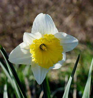 Narcissus, Narcissus Pseudonarcissus, Spring, Close
