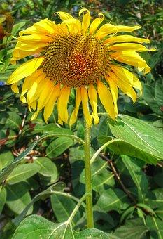 Large, Sunflower, Nature, Flora, Summer, Flower, Leaf
