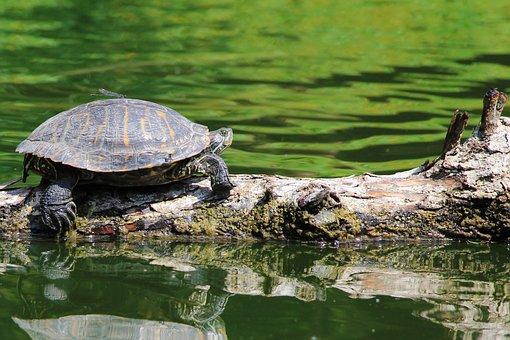 Testudines, Reptilia, Nature, Body Of Water, Turtle