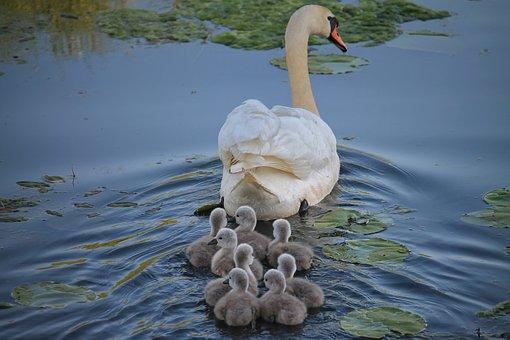 Swan, Chicken, Swan Kücken, Water Bird, Waters, Swim
