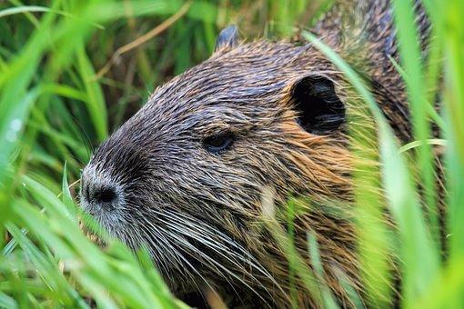 Nutria, Animal World, Nature, Waters, Animal, Mammal