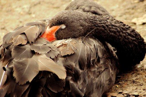 Nature, Bird, Wild World, Animal, Swan, Black Swan