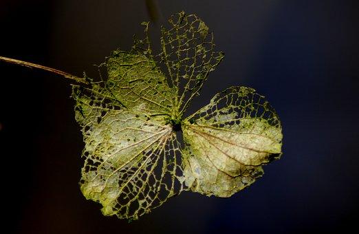 Nature, Background, Leaf, Plant, Hydrangea, Transient
