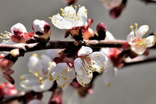 Apricot, Flower, Blossom, Bloom, Bloom, Tree, White