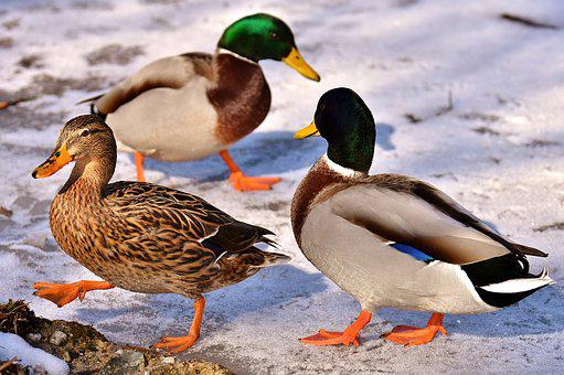 Mallard, Female, Males, Bread, Eat, Snow, Winter