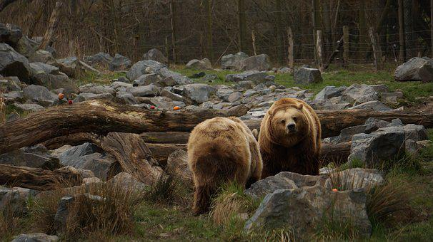 Nature, Outdoor, Wood, Brown Bear, Animal, Predator