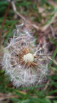 Nature, Dandelion, Flora, Flower, Grass, Seed, Closeup