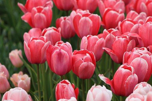 Tulip, Nature, Flower, Plant, Garden, Color, Season