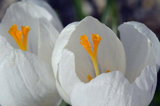 Crocus, White, Blossom, Bloom, Close, Stamp, Pistil
