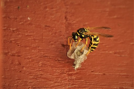 Wasp, Field Wasp, Nest Building, Egg Laying